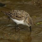 Concentric Circles (Semipalmated Sandpiper) by Robert Miesner