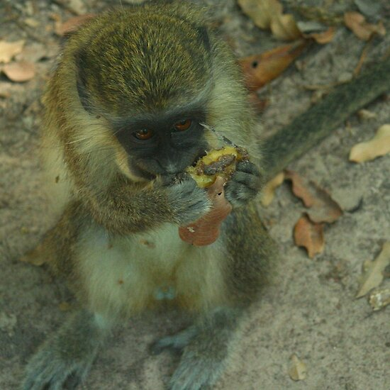 pics of monkeys eating bananas. Vervet Monkey eating banana