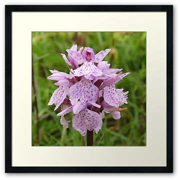 Common Spotted orchid flower in The Burren near Ballyvaughan, county Clare