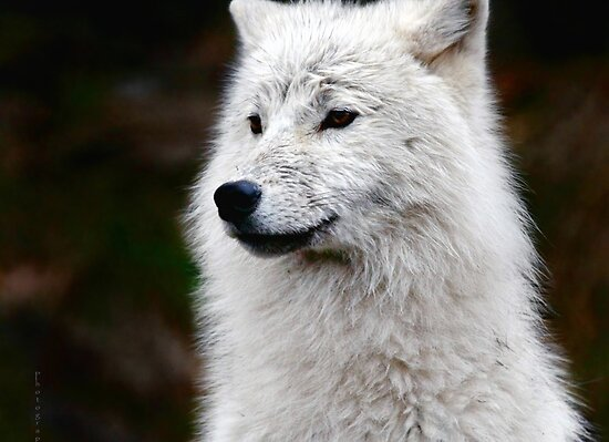 Gorgeous white female wolf she is a good fighter and a very good