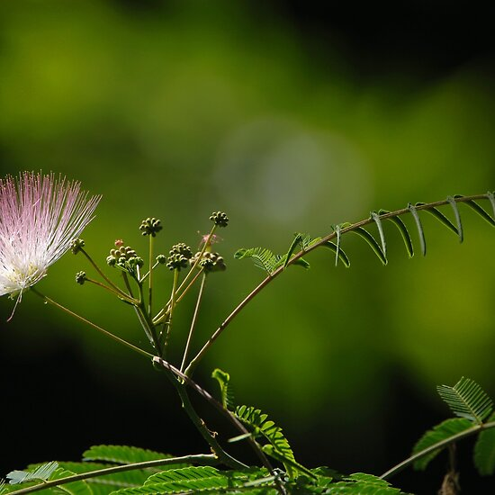 how to take care of mimosa pudica