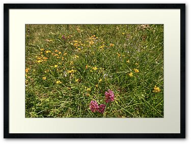 Beautiful flowers growing in The Burren in county Clare in summer including orchids and birds foot trefoil
