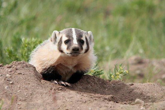 """Baby American Badger"" by Vickie - 45.6KB"