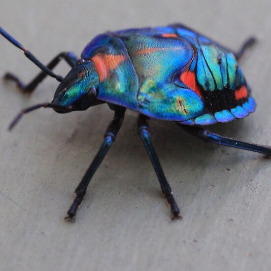 colors of rainbow. All Colors of Rainbow Beetle