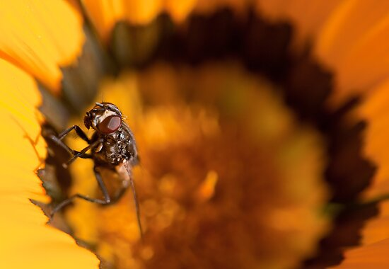 From the Depths of Hell. Fly emerging from a daisy