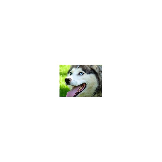 quiets humans & there pets  Work.6889730.2.flat,550x550,075,f.micky-blue-eyes-siberian-husky-dog-nz