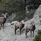 Rocky Mountain Sheep by Kansas Allen