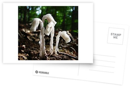 Indian Pipes in sunlight