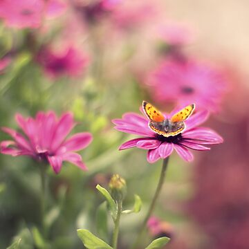 Colour Palette Photographs - A small copper butterfly (Lycaena phlaeas) nectaring on some Oestospermum daisies in my garden