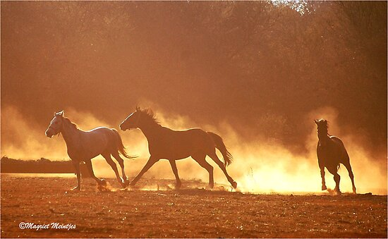horses running free. quot;HORSES IN SILHOUETTEquot; at DUSK