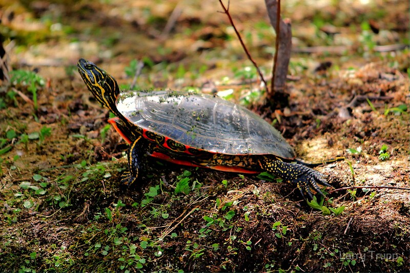 Quot Western Painted Turtle Quot By Larry Trupp Redbubble