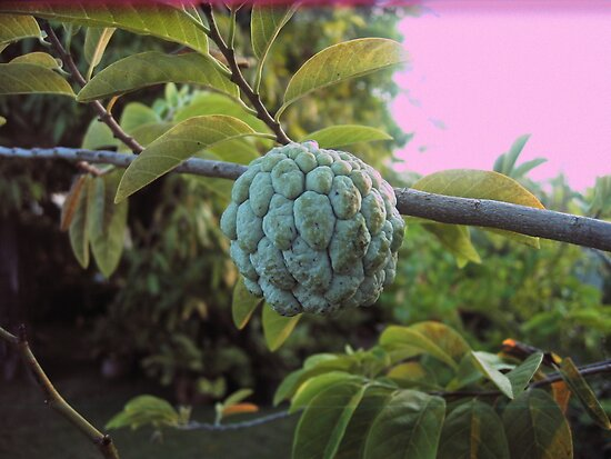 jamaican custard apple - photo #14