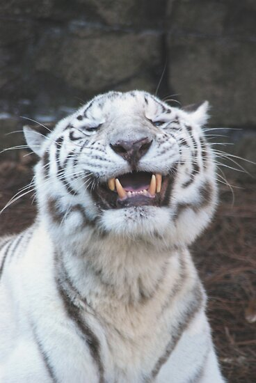 """WHITE TIGER SMILING"" by Claude Desrochers 