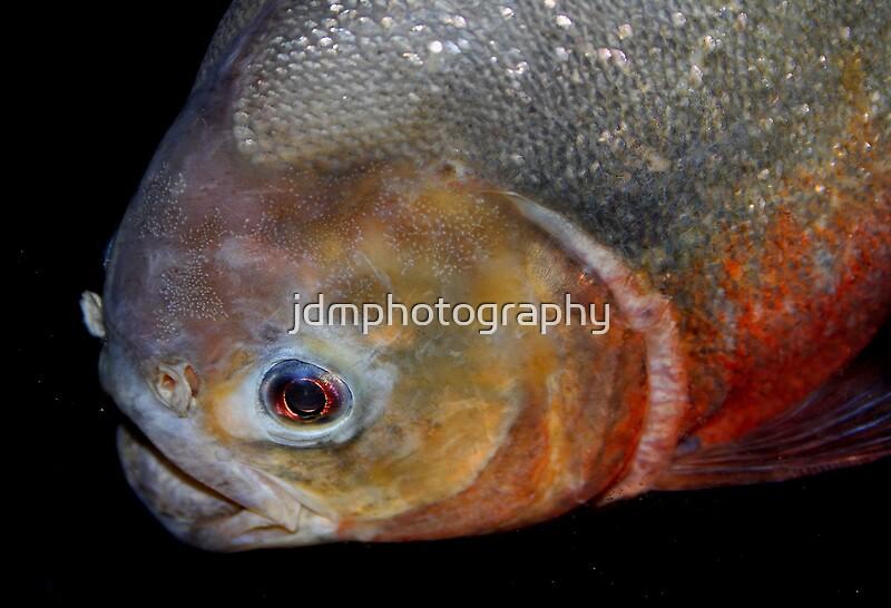 The Piranha Fish - Species, Information, Care & Forum