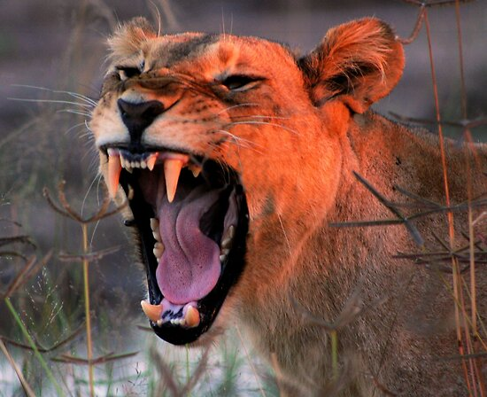 """Angry Lioness"" by Kevin Jeffery 