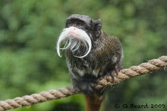 "Beardy Monkey: ""Bearded Monkey"" By Gavin Beard"