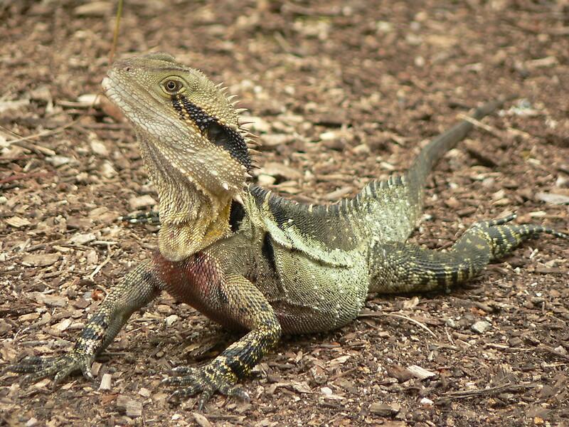 """Australian Water Dragon: """"Australian Water Dragon"""" By Tenzil"""
