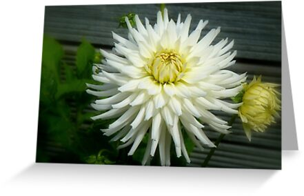 Quot National Flower Of Mexico Red Dahlia Nz Quot By Andreael